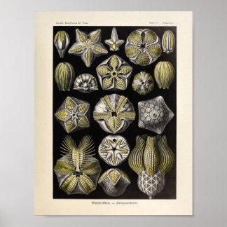 Impressão da arte de Ernst Haeckel da cor de