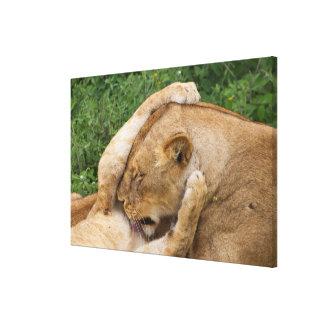 Impressão Em Canvas Cub que joga com leoa