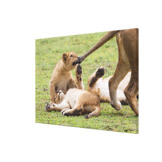 Impressão Em Canvas Cubs que joga com leoa