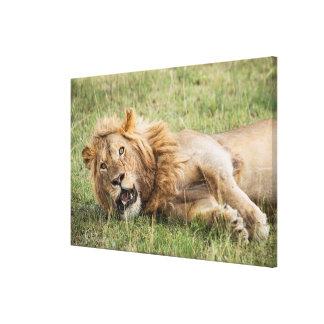 Impressão Em Canvas Descanso masculino do leão