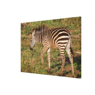 Impressão Em Canvas Zebra que anda, África do Sul do bebê