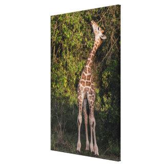 Impressão Em Tela O girafa que alcança até come
