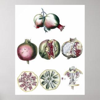 impressão Romã-botânico