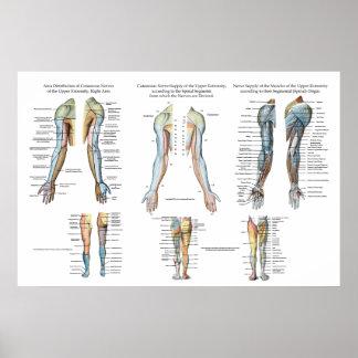 Inervação do nervo do braço do poster das pôster