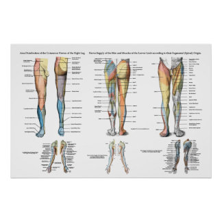 Inervação do nervo do pé do mais baixo poster das