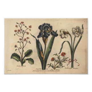Íris botânica do azul do impressão da arte da flor