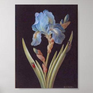 Íris-em-Preto Botânico-Flor-Azul do vintage Poster