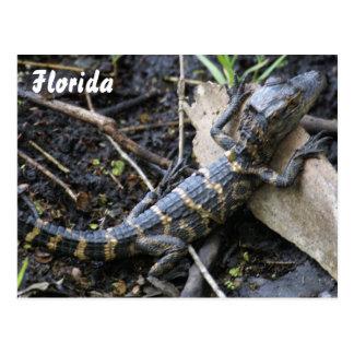 Jacaré do bebê no cartão de Florida