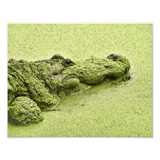 Jacaré - verde na lentilha-d'água foto arte