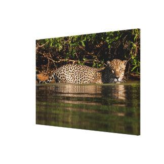 Jaguar que vai para uma natação impressão em canvas