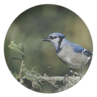 Jay azul, cristata do Cyanocitta, adulto, San Louças De Jantar