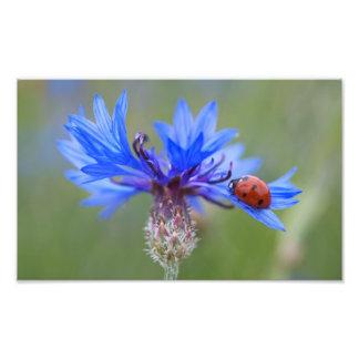 Joaninha em um cornflower azul artes de fotos