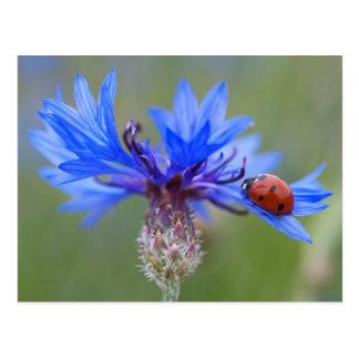 Joaninha em um cornflower azul cartao postal