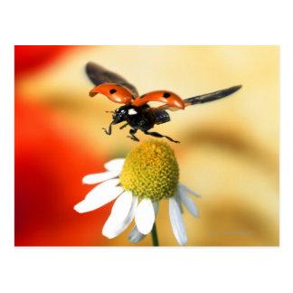 joaninha na flor 2 cartão postal