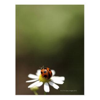 Joaninha na flor da camomila cartão postal