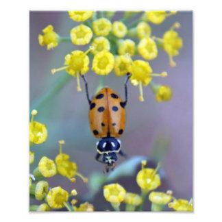Joaninha na flor de erva-doce impressão fotográficas