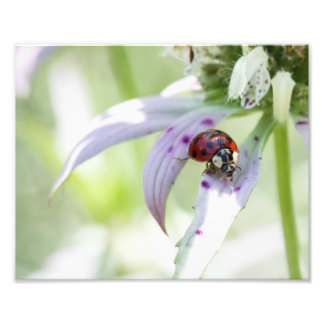 Joaninha na flor impressão de foto