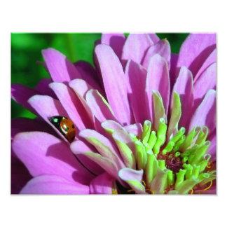 Joaninha na flor roxa do Zinnia Impressão De Foto