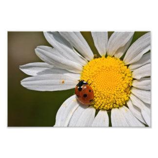 Joaninha na margarida de Oxeye - impressão Impressão De Foto
