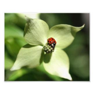 Joaninha na natureza da flor 10x8 do Dogwood Fotos