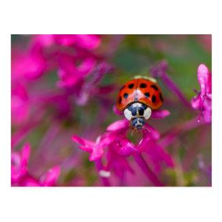 Joaninha preta vermelha do joaninha em flores cartão postal