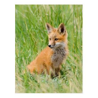 Jogo do Fox vermelho na grama perto do antro Cartão Postal
