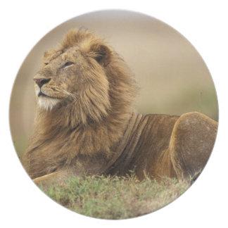 Kenya, Masai Mara. Leão do homem adulto na térmita Prato