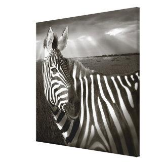 Kenya. Preto & branco da zebra e da planície Impressão De Canvas Envolvida