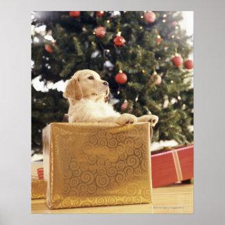 Labrador novo que inclina-se em um presente de poster