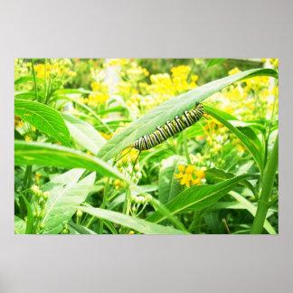 Lagarta do monarca que alimenta no milkweed pôster