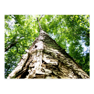 Latido de árvore cartão postal