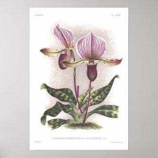 Lawrenceanum do Cypripedium Posteres