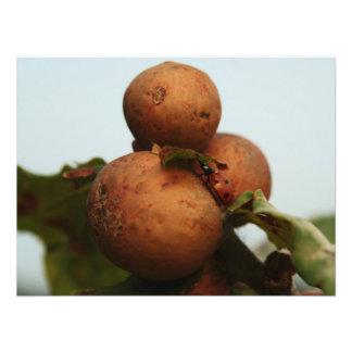 Laydbird em maçãs de carvalho impressão de foto