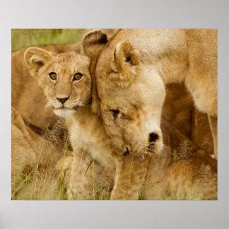 Leão Cub & mãe Posteres