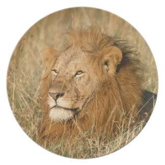 Leão do homem adulto na primeira luz prato