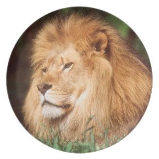 Leão do homem adulto prato de festa