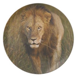 Leão do homem adulto que anda através das trilhas  prato