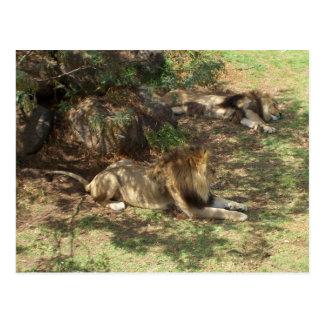 Leões preguiçosos cartão postal