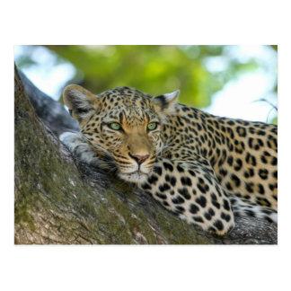 Leopardo Cartão Postal