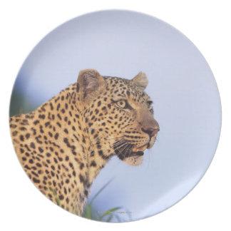 Leopardo do homem adulto (pardus do Panthera), Prato