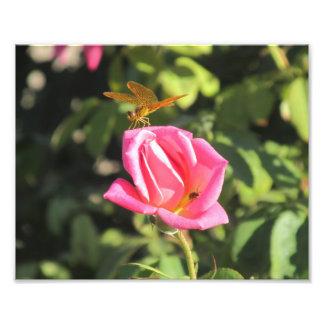 Libélula e joaninha no rosa do rosa impressão de foto