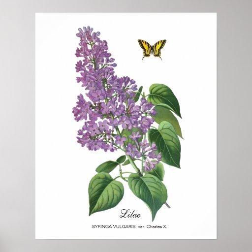 Lilac botânico impressão