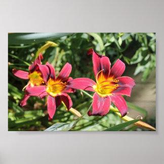 Lillies vermelho de Kentucky Posters