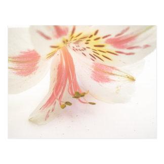 Lírio amarelo e branco cor-de-rosa cartão postal