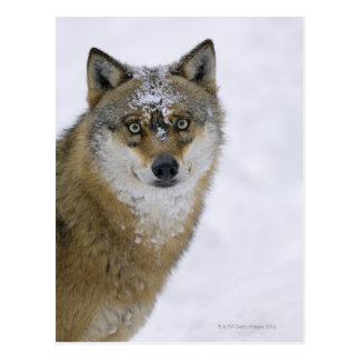 Lúpus de Canis, olhando a câmera, Alemanha, Europa Cartão Postal