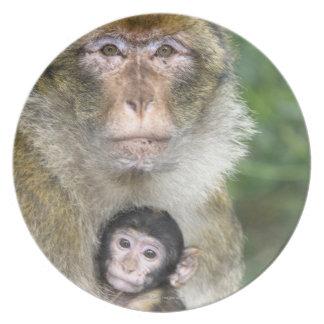 Macaque de Barbary. Adulte com babyMacaca Pratos De Festas