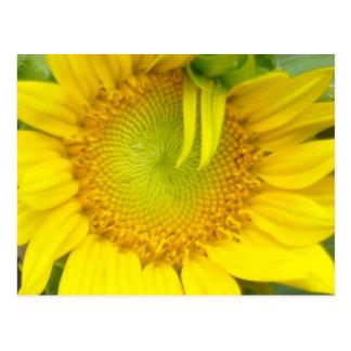 Macro amarelo do girassol cartão postal