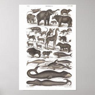 Mamíferos da história natural do vintage poster