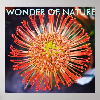 Maravilha da natureza - flor vermelha de Leucosper Poster