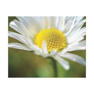 Margarida branca da foto bonita do fim-acima impressão em tela
